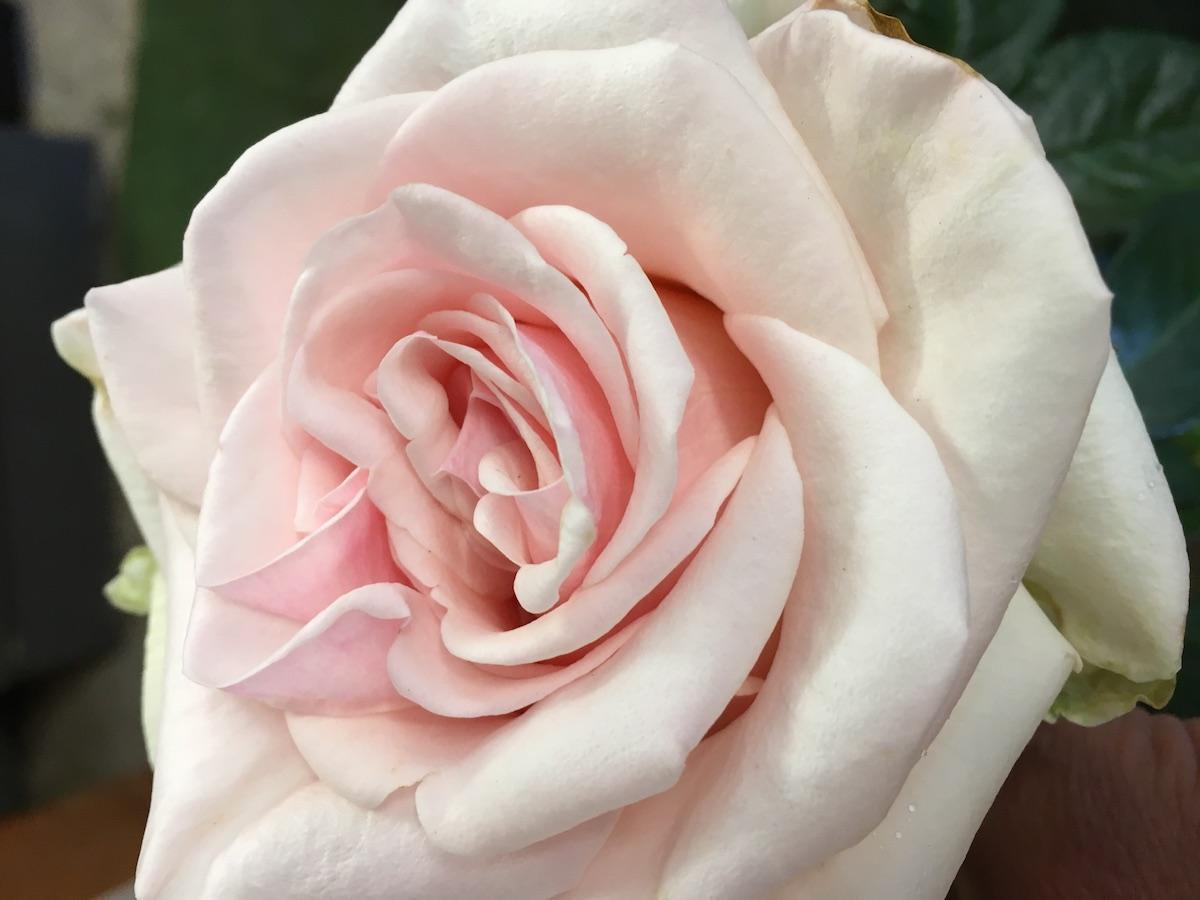 Bush Roses